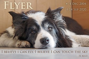 Border collies looking for loving new homes